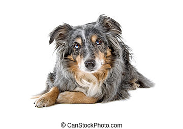 Border collie sheepdog isolated on - Border collie sheepdog...