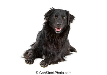 Black mixed breed dog - Black mixed breed border collie dog...