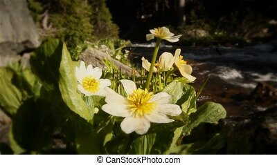 (1215) Mountain Stream Wildflowers - Classic High Mountain...