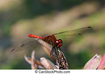 Close up of red dragonfly