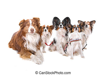 Australian shepherd, papillon dogs - Australian shepherd and...