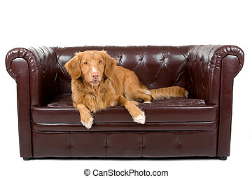 Nova Scotia Duck-Tolling Retriever dog resting on a couch
