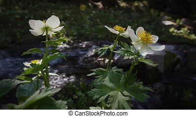 (1213) Mountain Stream Wildflowers - Classic High Mountain...