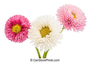 marguerite isolated on a white background