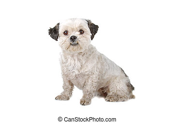 boomer dog sitting, isolated on a white background