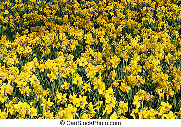 Field of Daffodils - A field of bright yellow spring...