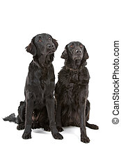 Two flat coated retrievers - Two flat coated (flatcoat,...