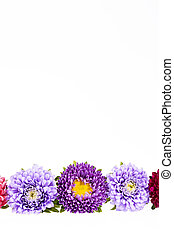 Colorful aster flowers isolated on white background, place...