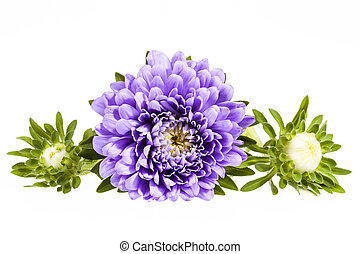 Single violet flower of aster isolated on white background -...
