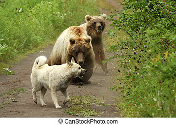 Two bears - Two brown bears, in a habitat of dwelling Russia...