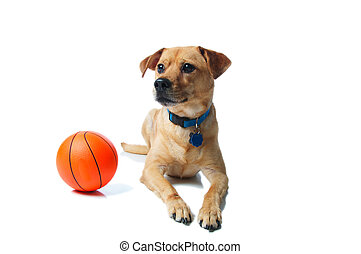 Yellow mixed breed dog with a basketball