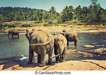 Elephants family Asia elephant - Asian elephant in river of...