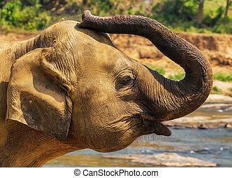 動物, 旅行隊, 大象