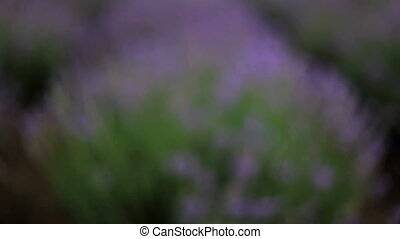 Bee in lavender field