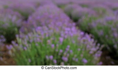 Bee pollinating lavender - Huge beautiful Lavender field in...
