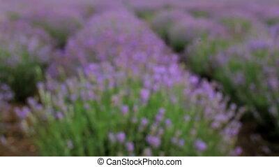 Bee pollinating lavender - Huge beautiful Lavender field in...