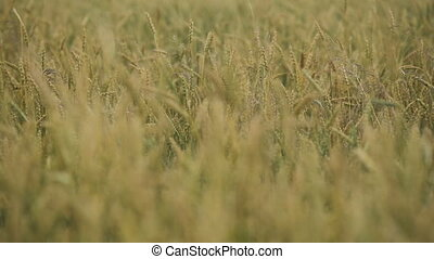 Close-up of wheat ears in field.