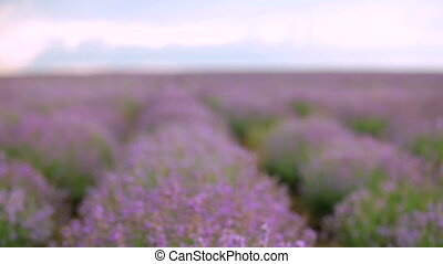 Spring lavender - Huge beautiful Lavender field At the...