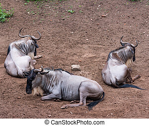 White bearded wildebeest - Eastern white-bearded wildebeest...