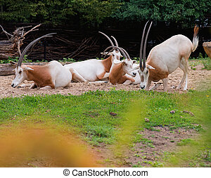 Scimitar Horned Oryx - Scimitar-Horned Oryx relaxing...