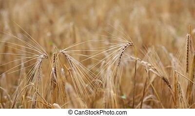 Cones on a wheaten field
