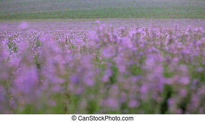 Lavender - Huge beautiful Lavender field in which flying...