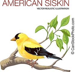 American siskin - Isolated black-head American siskin....