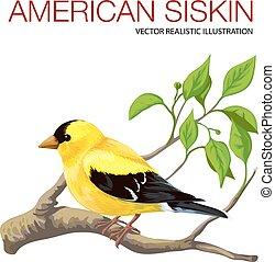 American siskin - Isolated black-head American siskin....
