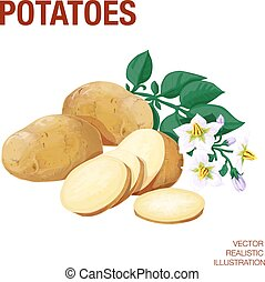 Potatoes. Vector illustration made in a realistic style