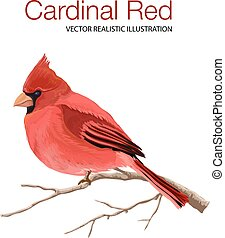 Cardinal Red - Vector illustration made in a realistic style