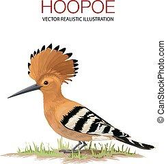 Hoppoe - Isolated hoppoe on white background. . Vector...