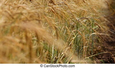 Wheat cone - Ascending harvest of agricultural products....