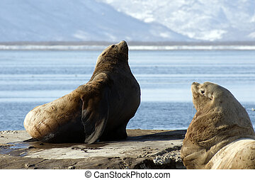 Northern sea-lion - Sea lion, in water area Avachinskoj of a...