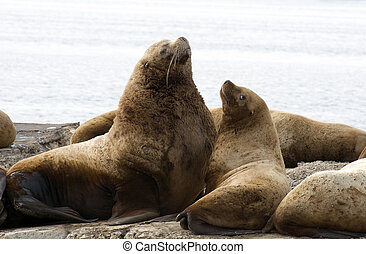 Northern sea-lion. - Sea lion, in water area Avachinskoj of...