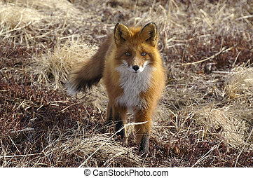 Red fox. - The red fox, in a habitat of dwelling. Russia....