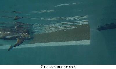 Humboldt penguin underwater - Humboldt penguin (Spheniscus...