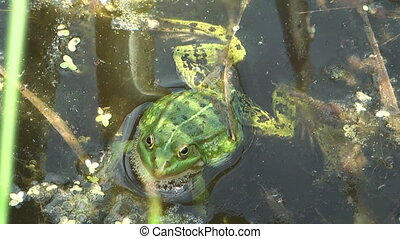 Auran. - Green frog closeup in a swamp.