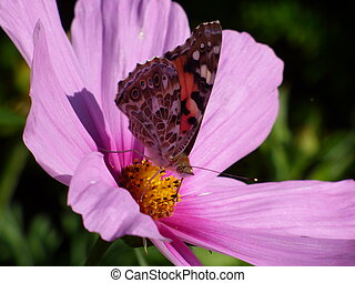 Butterfly on pink flower