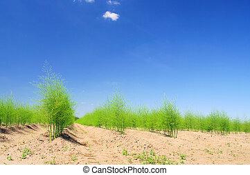 asparagus field 21 - asparagus field