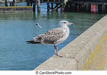 Young Herring Gull - Young herring gull standing on a...