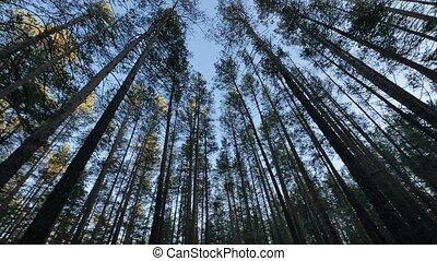 Siberia: Taiga forest, Russia, night - Siberia: Taiga...