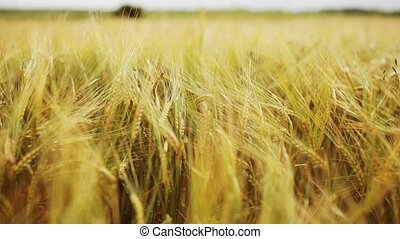 cereal field with spikelets of ripe rye or wheat - nature,...