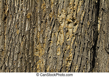 Cortex texture - Tree cortex for background use