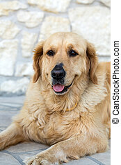 portrait of beautiful golden retriever