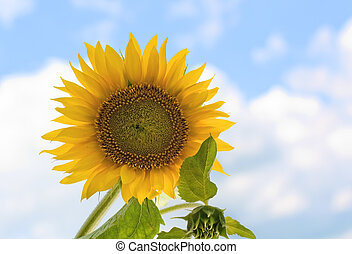 Sunflower, Helianthus annuus, against a blue sky with clouds