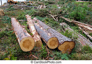 Newly cut pine tree logs - Clear cut forest area with newly...