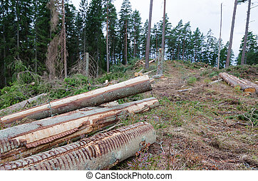 Harvesting in a coniferous forest - Newly cut logs in a...
