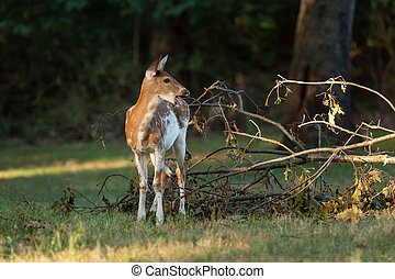 Piebald Whitetail Deer Fawn - A piebald whitetail deer eats...