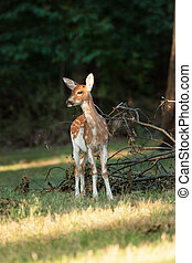 Piebald Whitetail Deer Fawn - A piebald whitetail deer fawn...