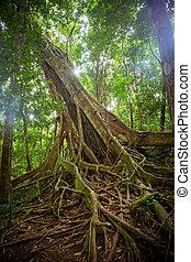 Mossman Gorge Tree - Dense rainforest in Mossman Gorge,...